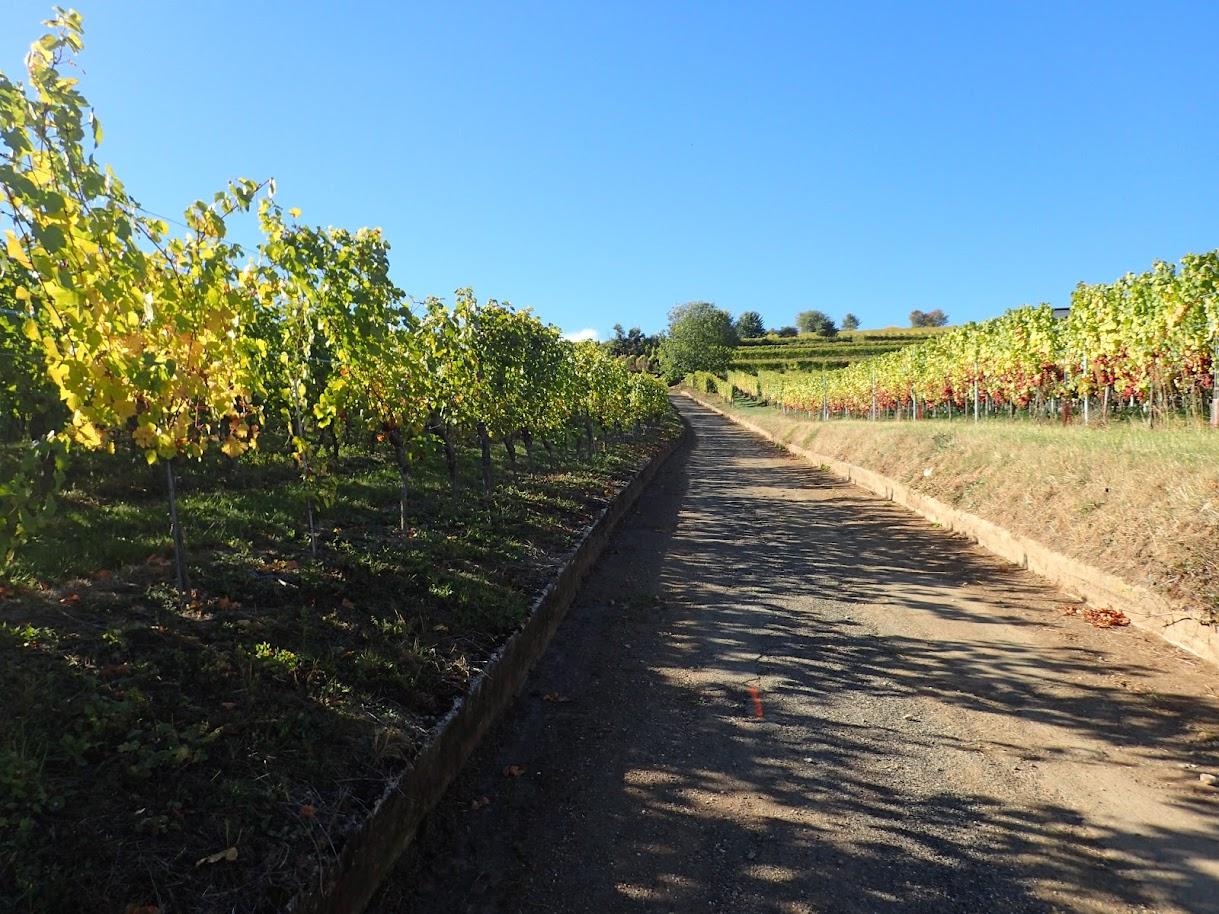 Une belle grimpée parmi les vignes dorées de Rouffach