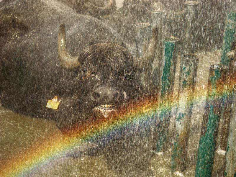 La Bufala,la pioggia e l'arcobaleno di marisa_serafini