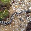 Beaked sea-snake