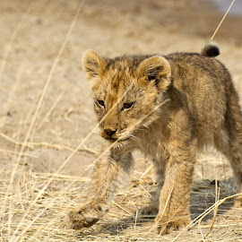 Looking for mom by Miranda Keller - Animals Lions, Tigers & Big Cats
