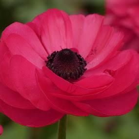 Pink by Judy Boyle - Flowers Single Flower (  )