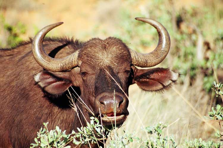 African Savana Buffalo cow (M. Cromhout).