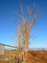 Photo: 12.1.2014 - Stromy nejsou bez listí jen kvůli ročnímu období - jsou suché. Později se ukázalo, že většina z nich se na jaře už nezazelenala a ostatní jeví známky otravy. — Dekontaminační plocha Rokytí.