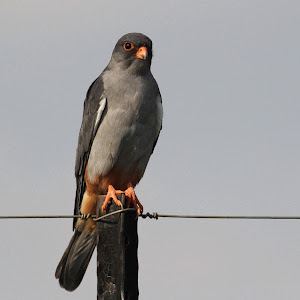Amur Falcon(male) Hekpoort 145.jpg