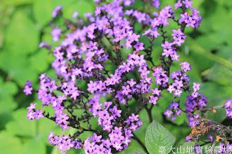 Photo: 拍攝地點: 梅峰-溫帶花卉區 拍攝植物: 香水草 拍攝日期: 2015_10_05_FY