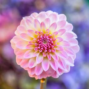 Pink & White dahlia by Jim Downey - Flowers Single Flower ( red, pink, white, blue, dahlia )