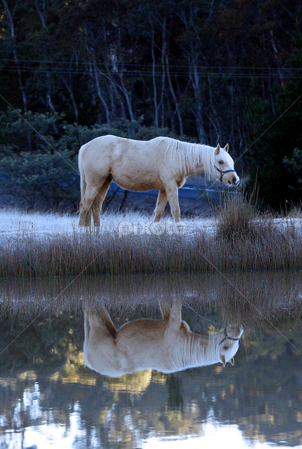 Frosty morning and sam by Glenys Lilley - Animals Horses ( palomino, reflection, horse, frost, animal )