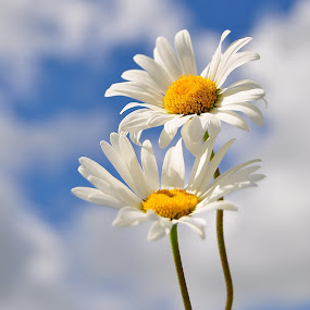 Ox-eye Daisies (A taste of summer).jpg