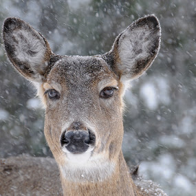 Snowstorm Friendly! by Sandra Updyke - Animals Other Mammals ( snowstorm, snow, white tailed deer, friendly, deer )