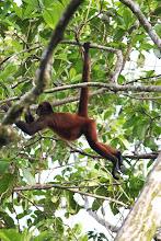 Photo: Spider monkey