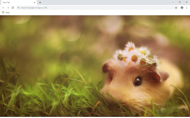 Guinea Pig Wallpapers and New Tab