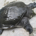 Asiatic Softshell Turtle