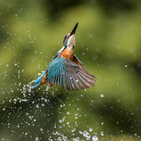 Male Kingfisher by Charlie Davidson - Animals Birds ( bird, scotland, wild, animals, nature, wildlife )