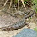 Gravid Viviparous Lizard