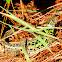 Iberian emerald lizard; Lagarto verdinegro
