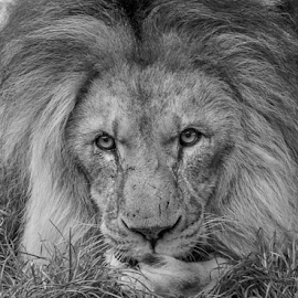 Those eyes by Garry Chisholm - Black & White Animals ( big cat, garry chisholm, predator, lion, carnivore, king )