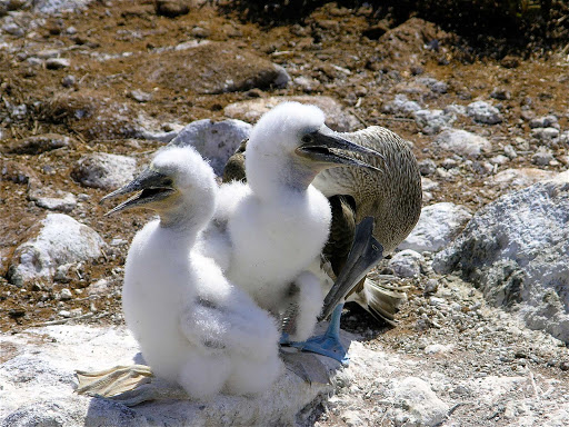 Booby chicks allowed a stranger to approach in the Galápagos.