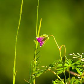 Wildflower by Victor Mukherjee - Nature Up Close Flowers - 2011-2013 ( grass, wildflower, green, pink, flower )