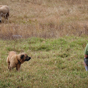 Guarding his Flock by Donna Brittain - People Professional People ( shephard, guardian, algarve, sheep, portugal, dog, photograher, photographers, taking a photo, photographing, photographers taking a photo, snapping a shot )
