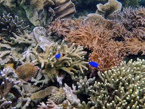 Photo: Chrysiptera parasema (Yellow-tail Blue Damselfish), Sand Island, Palawan, Philippines.
