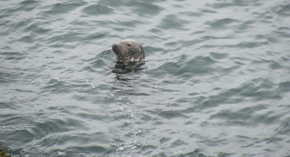 Dalkey Island Seal