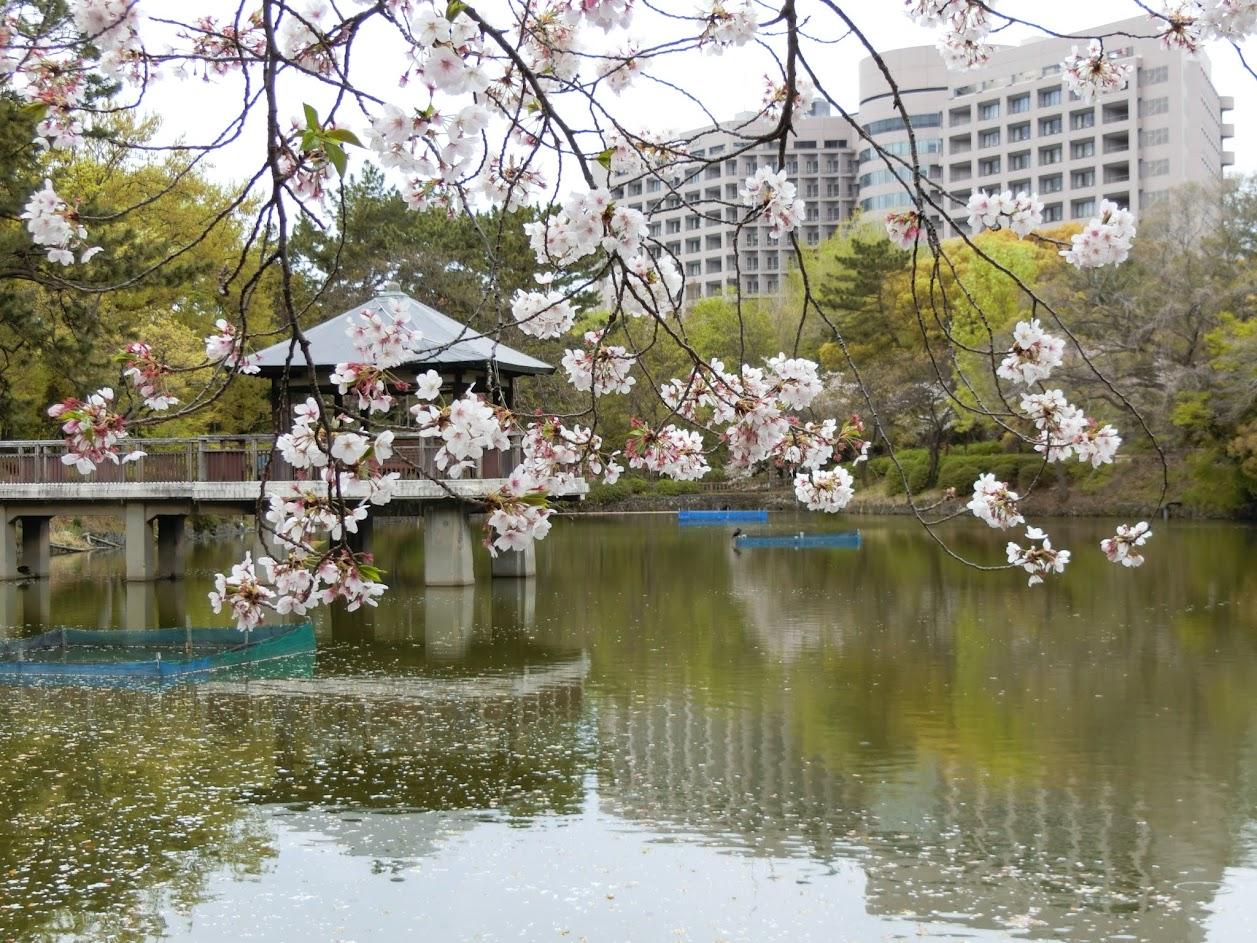 竜ヶ池とさくら 奥には名古屋大学病院