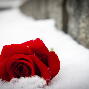 Buried in the Snow by Ravi Patel - Nature Up Close Flowers - 2011-2013 ( rose, red, ice, snow, flower )