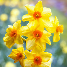 Narcissus by Jeremy Sage - Uncategorized All Uncategorized ( copyright, beauty, color, jeremy sage, yellow, flora, isolated, bright, petals, spring, jonquil, beautiful, bloom, narcissus jonquilla, floral, flowers, springtime, daffodil, natural, nature, bouquet, narcissus, flower, orange, blooming, england;, closeup, background, plant, colourful, fresh, stem )