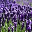 Lavendervn Ger