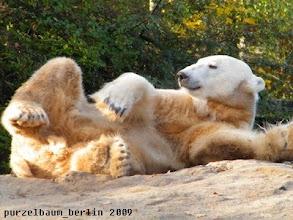 Photo: Knut raekelt sich genuesslich :-)