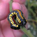 Brown-hooded Owlet Caterpillar