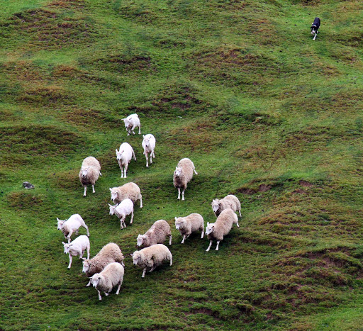 Ponant-New-Zealand-sheep.jpg - You'll run into sheep wherever you travel on New Zealand's South Island.