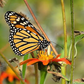monarch cove island by Erika  Kiley - Novices Only Wildlife ( orange, butterfly, monarch, garden, flower,  )