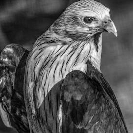 Brahminy kite by Garry Chisholm - Black & White Animals ( raptor, bird of prey, nature, brahminy kite, garry chisholm )
