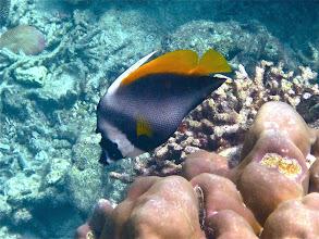 Photo: masked or singular bannerfish, Ao Mae Yai, Mu Koh Surin Nat'l Marine Park