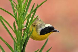 Photo: Common Yellowthroat