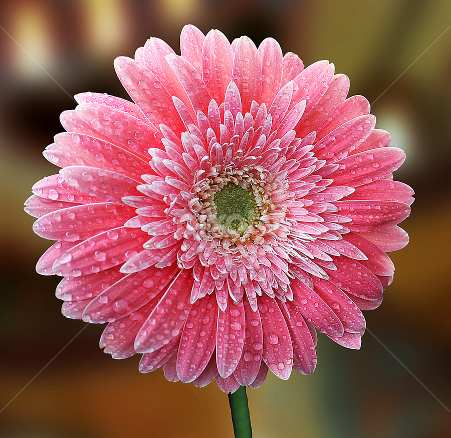 by Biljana Nikolic - Flowers Single Flower ( gift, natue, blossom.gentle, beautiful, nice, bloom, waterdrops, love, present, pink.gerbera, lovely, clarity, freshness, wet, garden, flower )