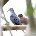 Blue Ground-Doves (male & female)