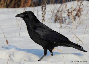 Photo: Vrána černá (Corvus corone)