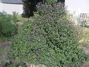 Photo: Prolific Pyramid of Purple Basil