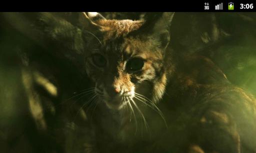 Lynxes and Bobcats Wallpaper