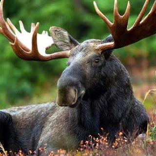 Barbecue Of Meat Elk Or Deer.