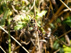 """Photo: L'épeire fasciée ou """"Argiope bruennichi """" ou """"Argiope frelon"""" sur sa toile dans la haie vive. 30.08. Ces araignées atteignent leur plein développement en septembre-octobre.(Lubéron 04)"""