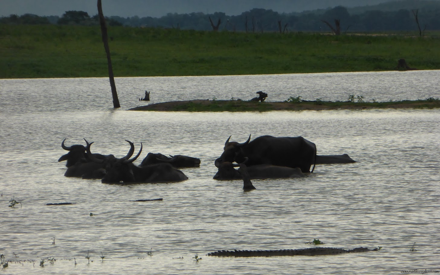 Crocodile and Water buffaloes in Uda Walawe reservoir, Sri Lanka