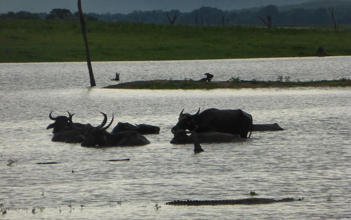 Crocodile and Water buffaloes in Uda Walawe reservoir, Sri Lanka