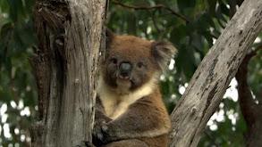 Koala Forest thumbnail