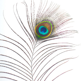 Peacock Feather by Martha van der Westhuizen - Artistic Objects Other Objects ( single, feather, macro, colour, close-up, peacock )