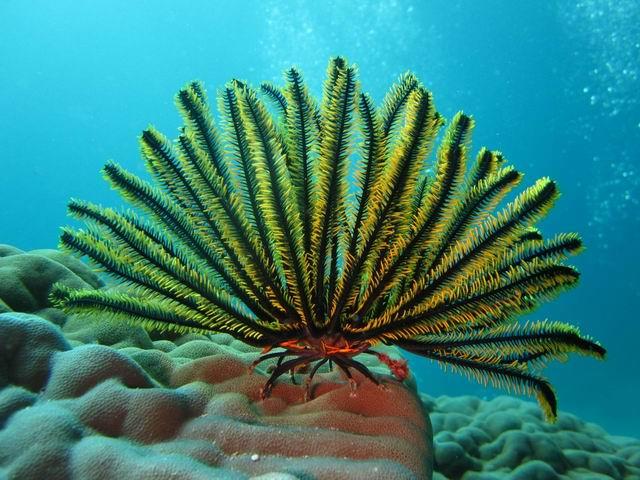 Photo: Crinoïde en Nouvelle-Calédonie