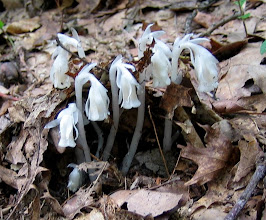 Photo: Indian Pipes, 8.25