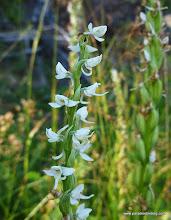 Photo: Bog Orchid